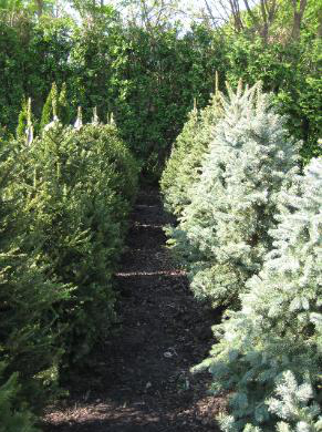 A line of Norway and Blue Spruce in the Morning at Danchris