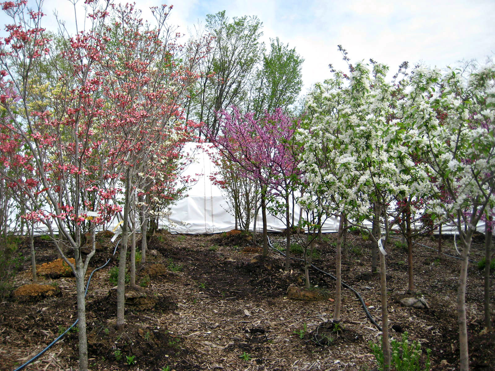 Ornamental Trees Dogwood, Crabapple, and Redbud